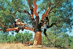 cork oak harvest
