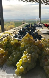 Freshly picked grape varietals from Elephant Mountain Vineyards